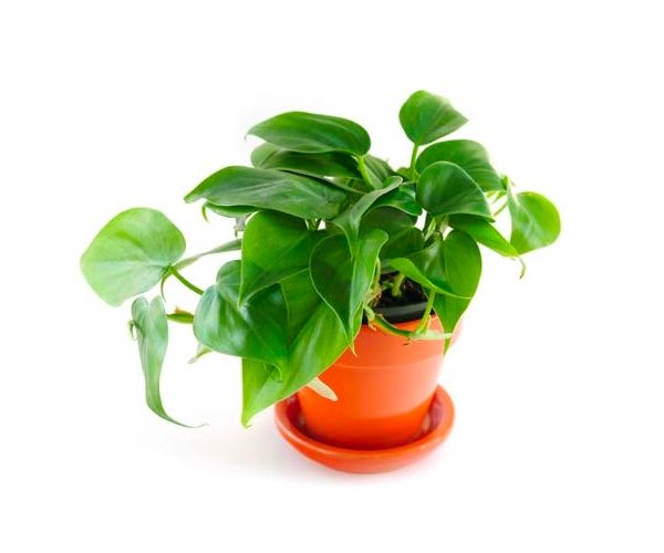 Indoor plants easy to take care of 11