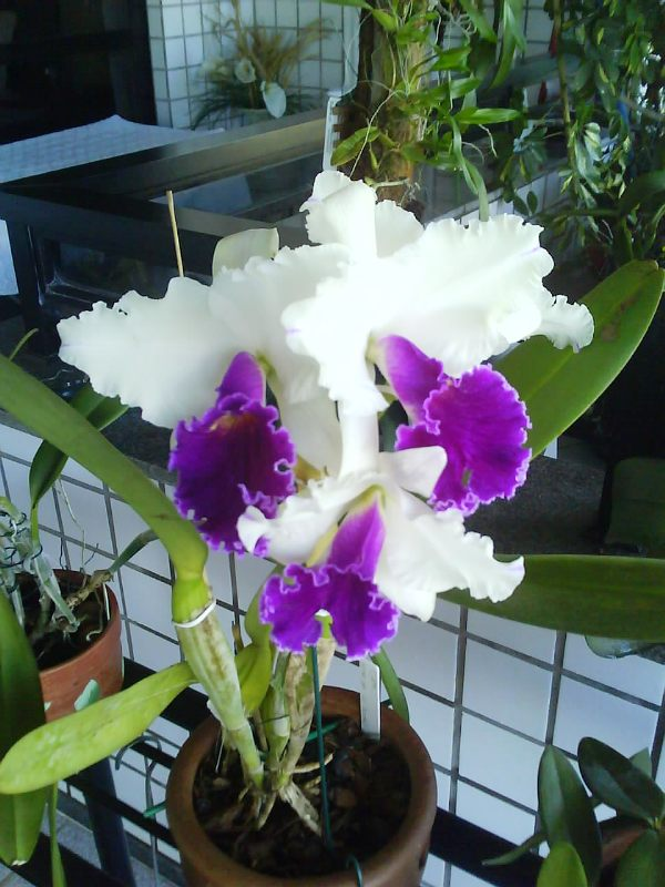 What is an orchid hybrid? 1