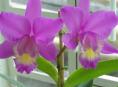 imagen ¿Qué es una orquídea híbrida?