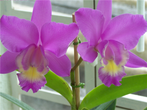 What is an orchid hybrid? 2