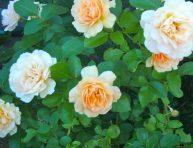 imagen 6 pasos para tener los rosales sanos