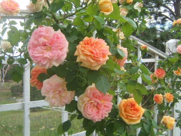 6 steps to keep your rose bushes healthy 4
