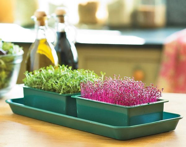 All about the cultivation of tender shoots or microgreens 1
