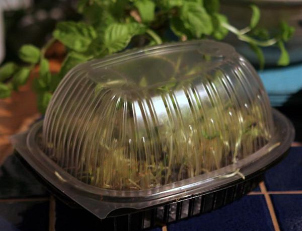 All about the cultivation of tender shoots or microgreens 3