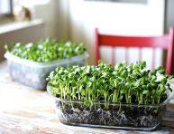 imagen Todo sobre el cultivo de brotes tiernos o microgreens