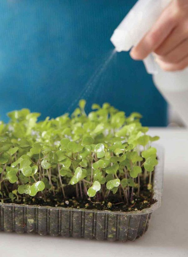 All about the cultivation of tender shoots or microgreens 5