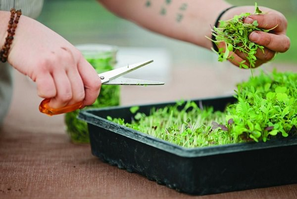All about the cultivation of tender shoots or microgreens 6