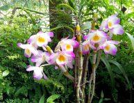 imagen Características de la orquídea Dendrobium compactum