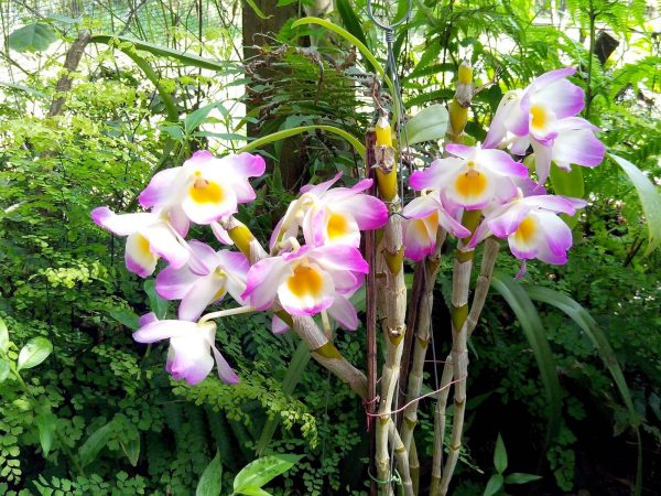 Features of the orchid Dendrobium compactum 2