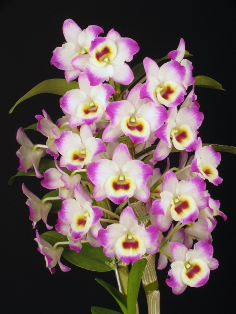 Features of the orchid Dendrobium compactum 4