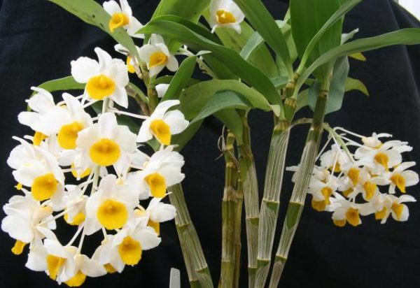 Features of the orchid Dendrobium compactum 5