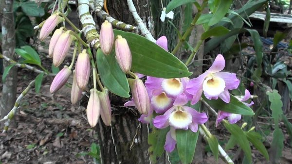Features of the orchid Dendrobium compactum 6