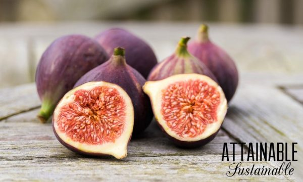 How to grow a fig tree in a pot 1