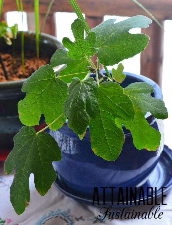 How to grow a fig tree in a pot 2