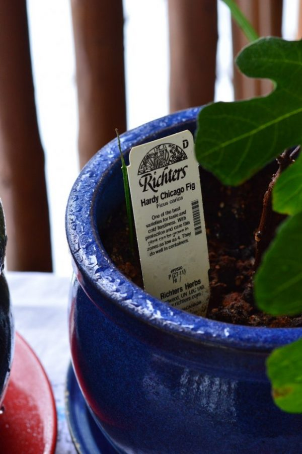 How to grow a fig tree in a pot 3