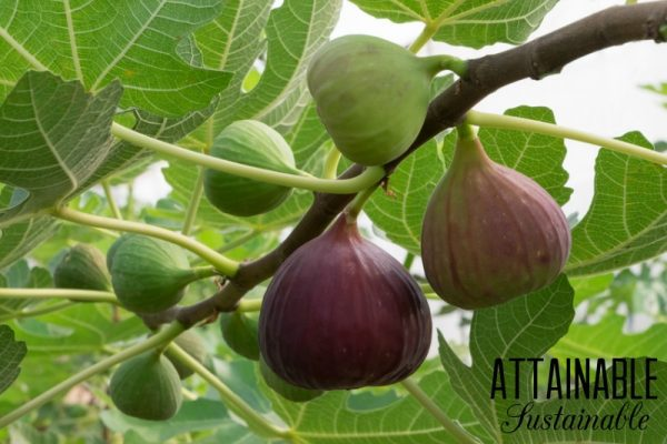 cómo cultivar una higuera en maceta