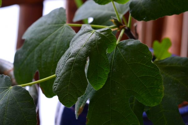 How to grow a fig tree in a pot 5