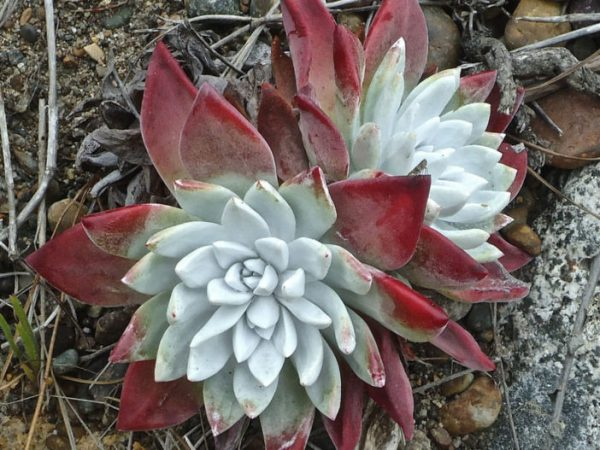 You know the Dudleya farinosa 1