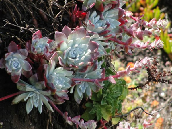You know the Dudleya farinosa 2