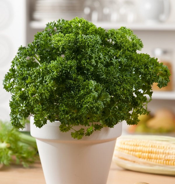 Grow parsley in a pot 1