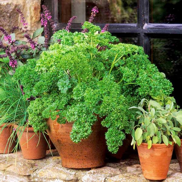 Grow parsley in a pot 2