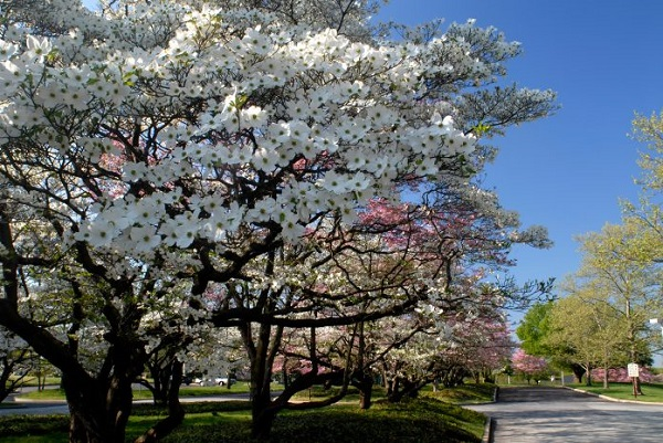 Cultivation and care of the dogwood 1