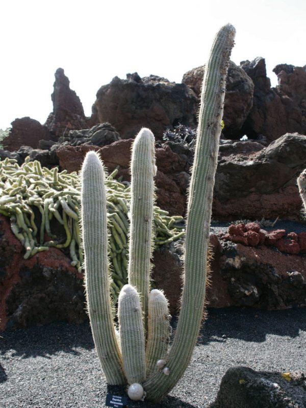 The cactus Espostoa melanostele 3