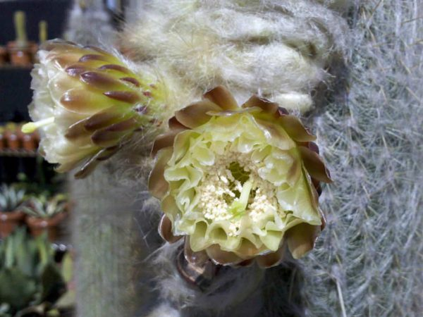The cactus Espostoa melanostele 4