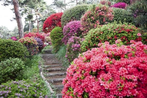 Guide to growing azaleas 1