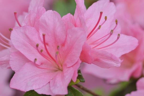 Guide to growing azaleas 3