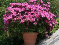 imagen Guía de cultivo de las azaleas