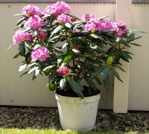 Guide to growing azaleas 5