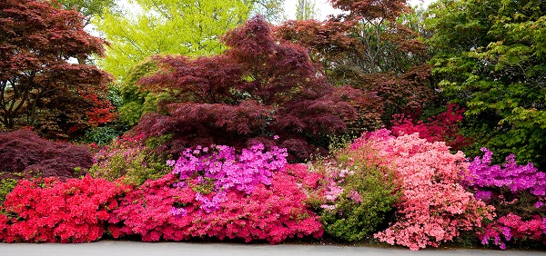Guide to growing azaleas 6