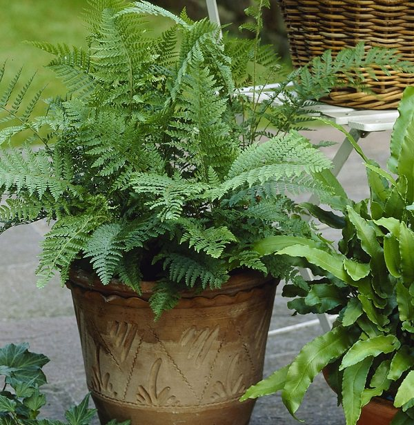 The best ferns for growing in pots 1