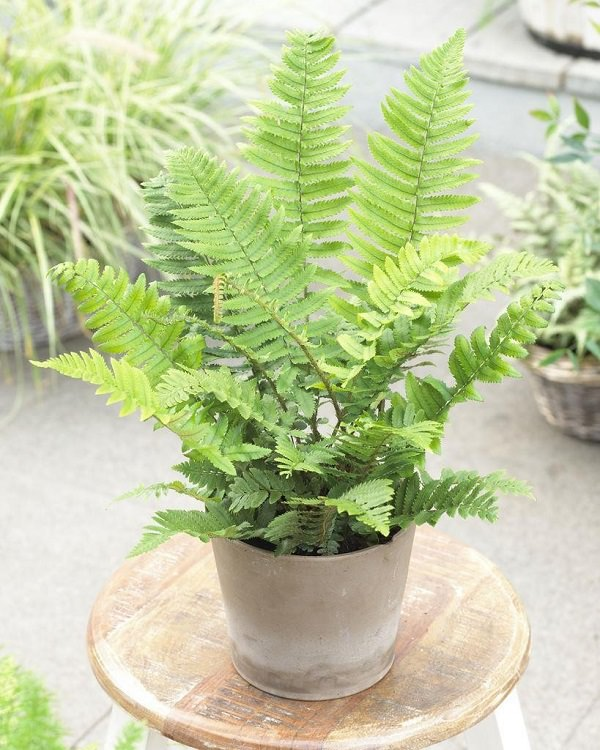 The best ferns for growing in pots 2