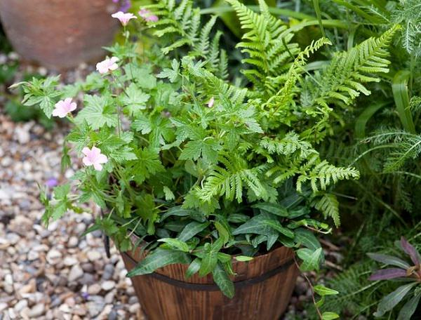 The best ferns for growing in pots 3