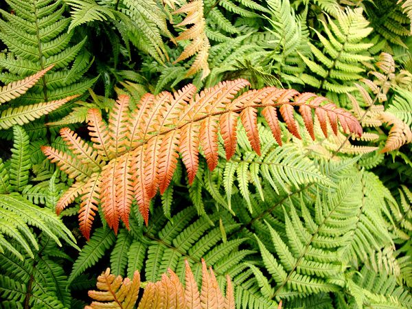 The best ferns for growing in pots 4