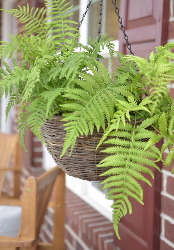 The best ferns for growing in pots 5