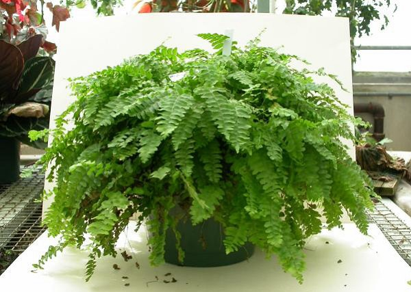 The best ferns for growing in pots 6