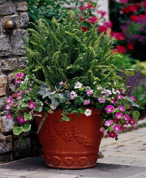 The best ferns for growing in pots 7