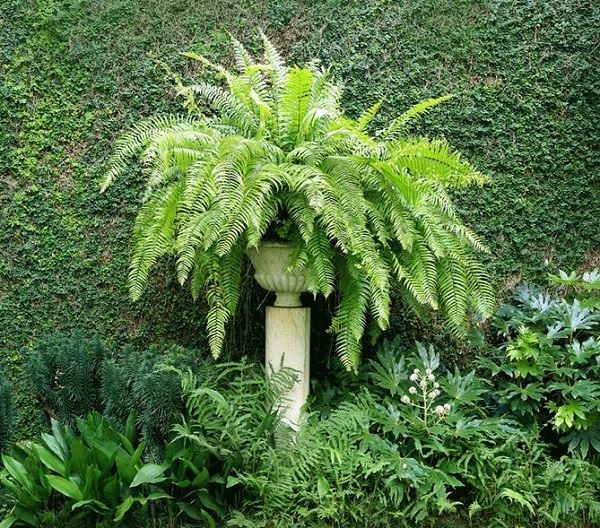 The best ferns for growing in pots 8