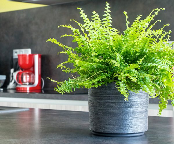 The best ferns for growing in pots 9