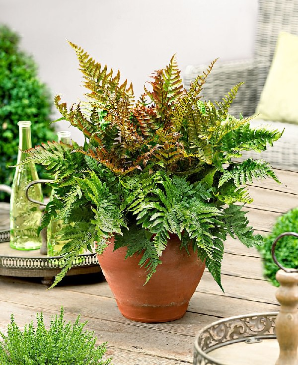 The best ferns for growing in pots 10