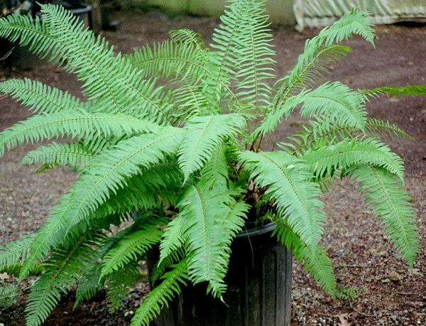 The best ferns for growing in pots 12
