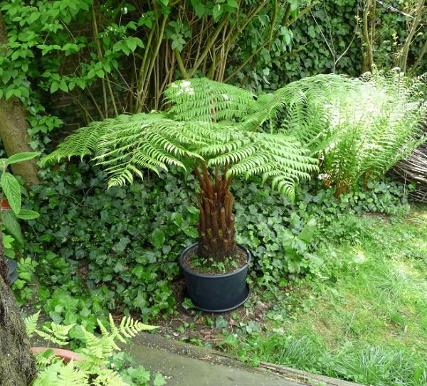 The best ferns for growing in pots 13