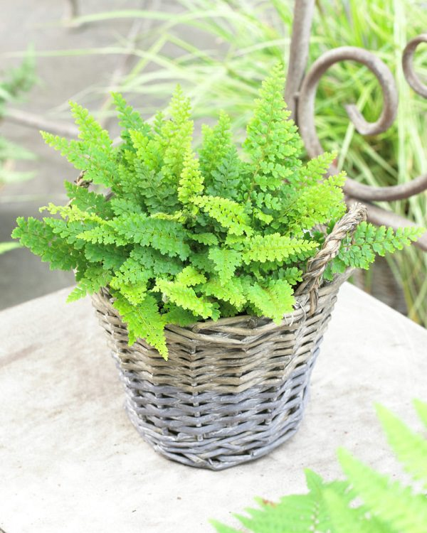 The best ferns for growing in pots 15