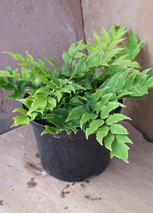 The best ferns for growing in pots 16
