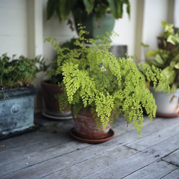 The best ferns for growing in pots 17