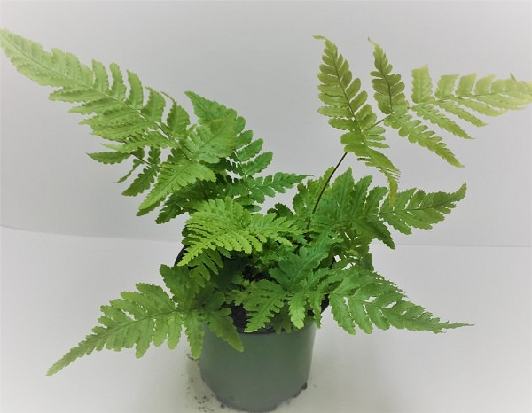 The best ferns for growing in pots 18