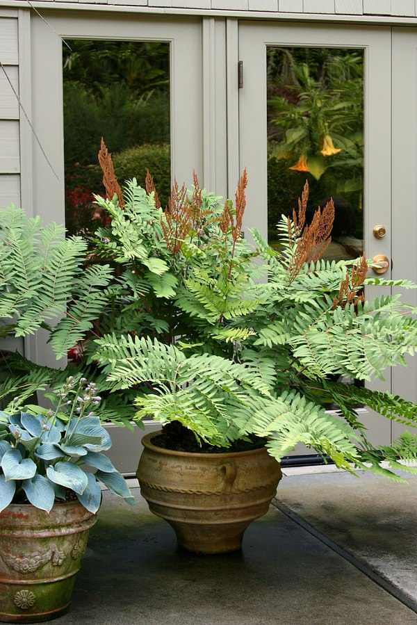 The best ferns for growing in pots 19